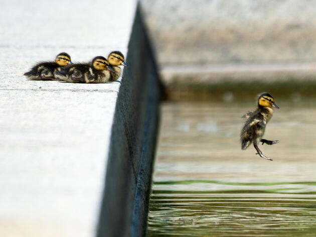 Two-day old ducklings leap into a pool on the U.S. Capitol grounds. Bill Clark/CQ Roll Call/AP