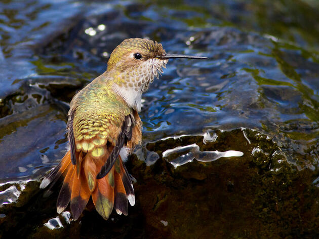 Rufous Hummingbird. Ron Racine/Audubon Photography Awards