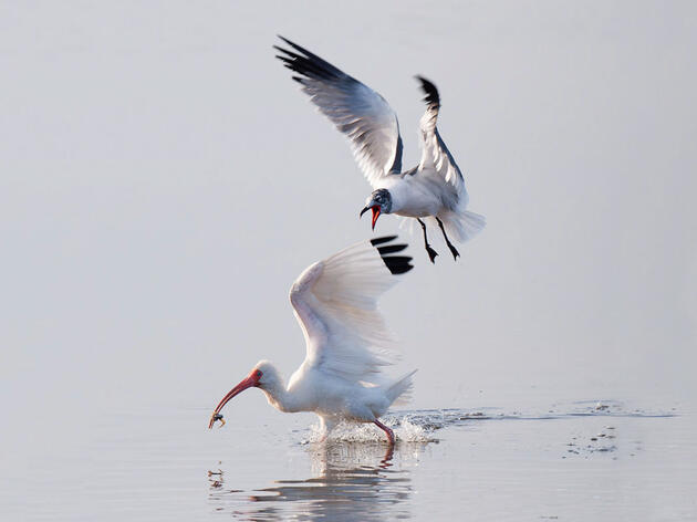 White Ibis and Laughing Gull. Sandy Flint/Audubon Photography Awards