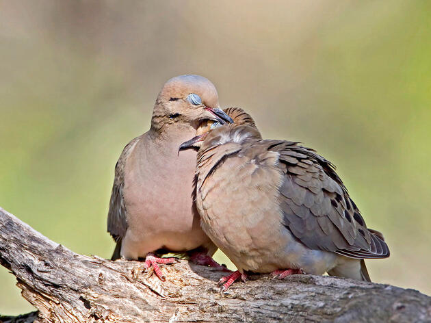 A Mourning Dove on Valentine's Day is a sign of a very blissful marriage. Roger Williams/Audubon Photography Awards