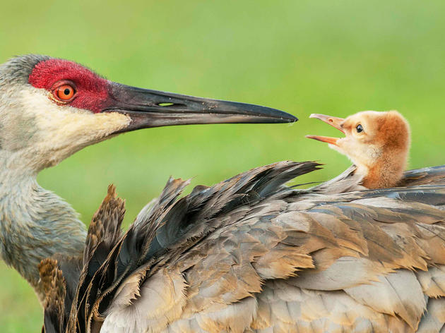 Who can resist helping birds like these amazing—and climate-threatened—Sandhill Cranes? Ursula Dubrick/Audubon Photography Awards