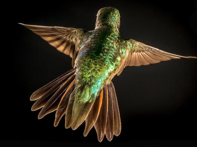 Broad-tailed Hummingbird. Roger Levien/Audubon Photography Awards