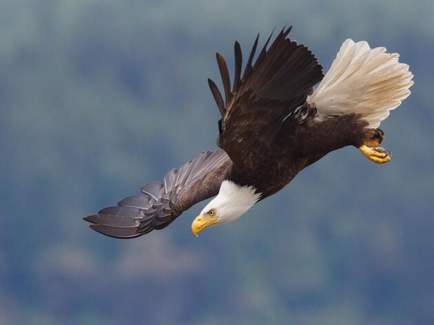 Águila Calva. Ken Archer/Premios de Fotografía Audubon