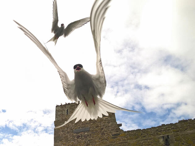 How a Tern Broke the Record for the Longest Known Migration