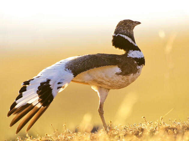Little Bustard in Extremadura, Spain. The species was once common in Western Europe, but now is considered near-threatened. ImageBROKER/Alamy