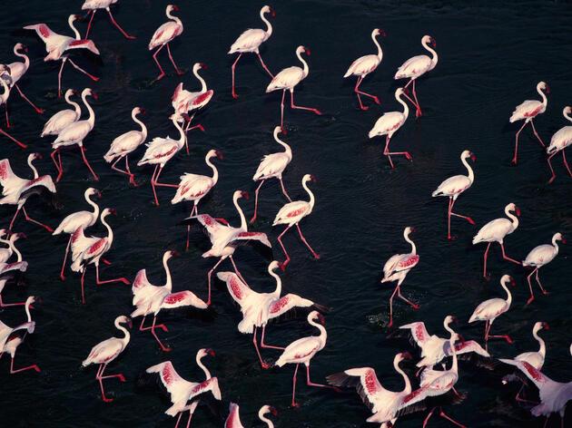 Lesser Flamingos. Tom Brakefield/Corbis