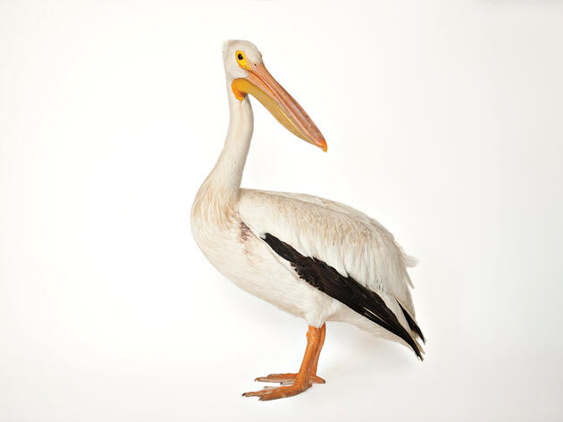 Body of Evidence: How the White Pelican Spreads Oil