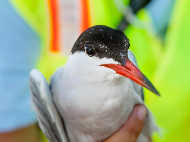 Common Tern. Camilla Cerea/Audubon
