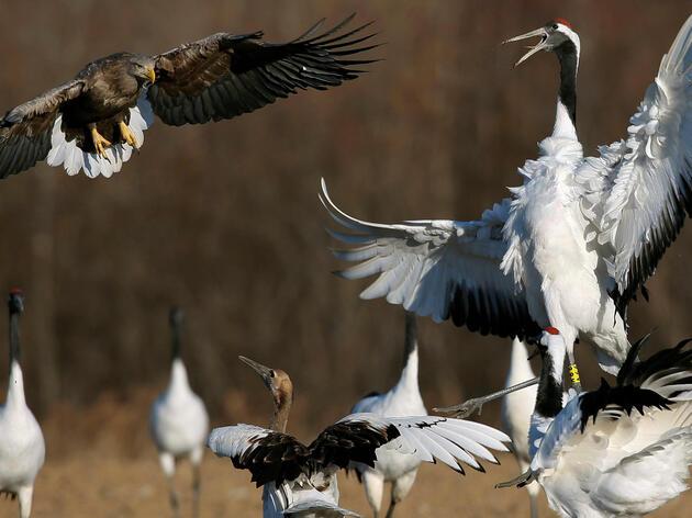 A Red-crowned Crane fights off a White-tailed Eagle in Kushiro, Japan. KIMIMASA MAYAMA/epa/Corbis