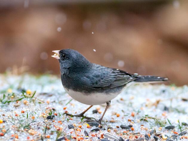 Dark-eyed Junco. Melinda Fawver/Great Backyard Bird Count