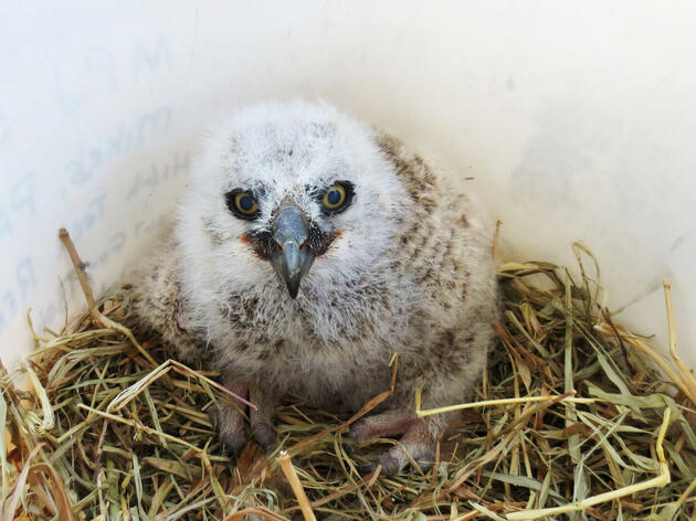 A rescued baby owl awaits its trip back up to the nest. Jenn Jackson