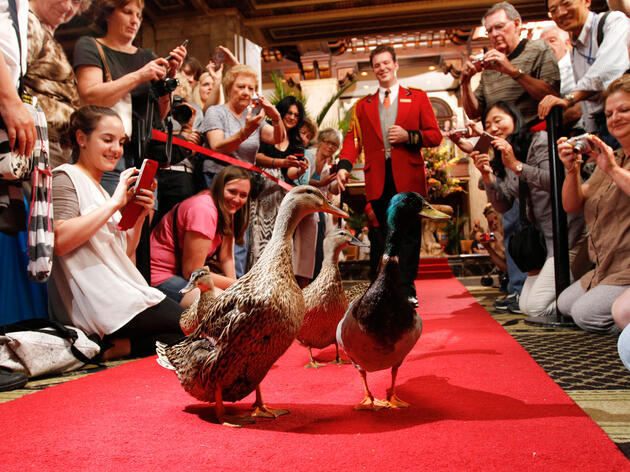 Twice a day, five Mallards march through the Peabody Hotel's lobby, with lead Duckmaster Anthony Petrina close on their tails. Courtesy of The Peabody Memphis