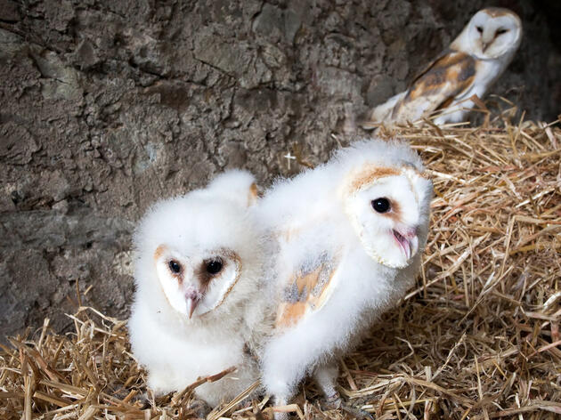 Barn Owl chicks in a nest, with an adult looming in the background. Ann and Steve Toon/Alamy