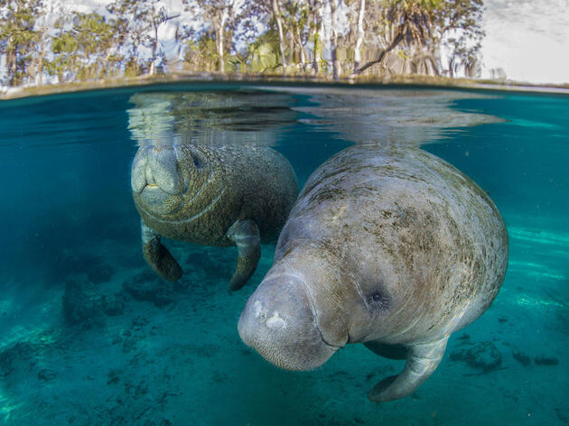 Migrating Manatees Delight Campers With Their Lazy Antics
