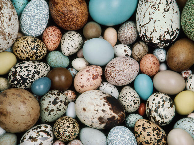 The Western Foundation of Vertebrate Zoology's bird egg collection. Frans Lanting/Corbis