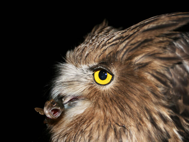 A male Blakiston's Fish Owl, seen here clutching a young masu salmon in its beak, is just one of several hundred birds left in the Primorye region. Jonathan Slaght/WCS Russia