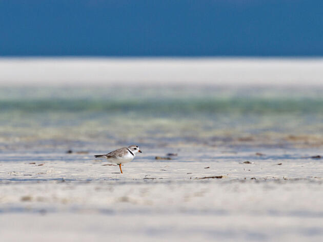 A Piping Plover on the beach at the Joulter Cays National Park. Lindsay Addison/Audubon