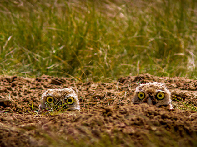 Learn to Identify Five Owls by Their Calls