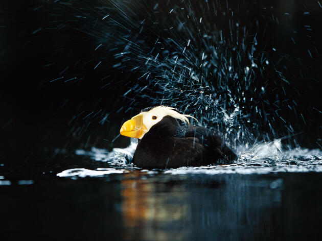 Troubled Times for Tufted Puffins