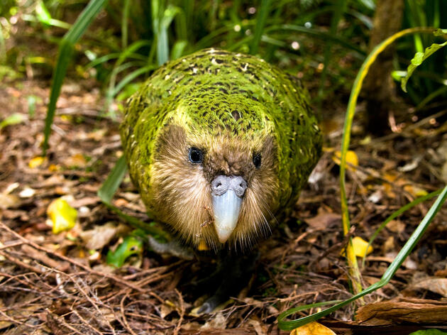 The Critically Endangered Kakapo Parrot Is Having One Fantastic Year