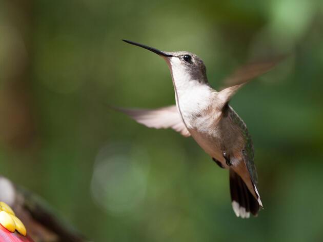 Ruby-throated Hummingbird. Camilla Cerea/Audubon