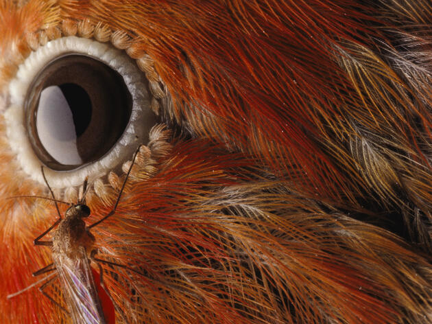 A Culex mosquito lands near the eye of an `I`iwi bird in Hawaii. Chris Johns/National Geographic Creative