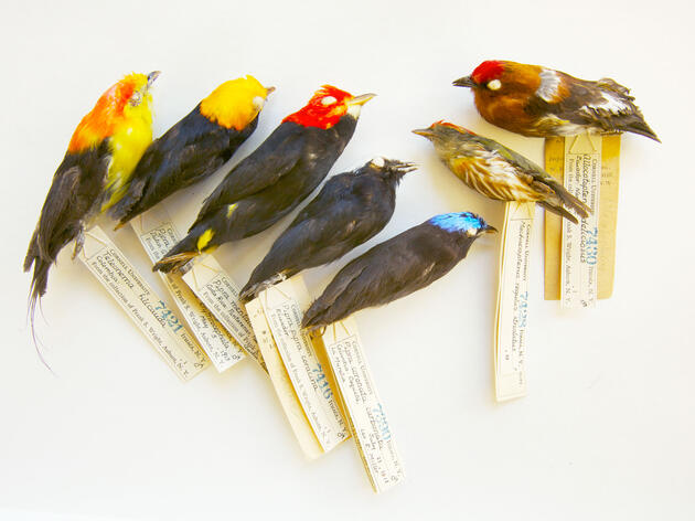 Seven species of manakins from tropical America. Tim Laman/National Geographic Creative