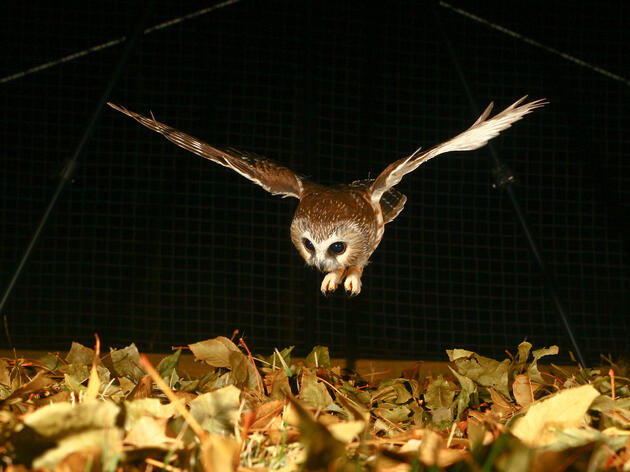Northern Saw-Whet Owl hunting during a noise experiment. Jesse Barber and Nick Hristov