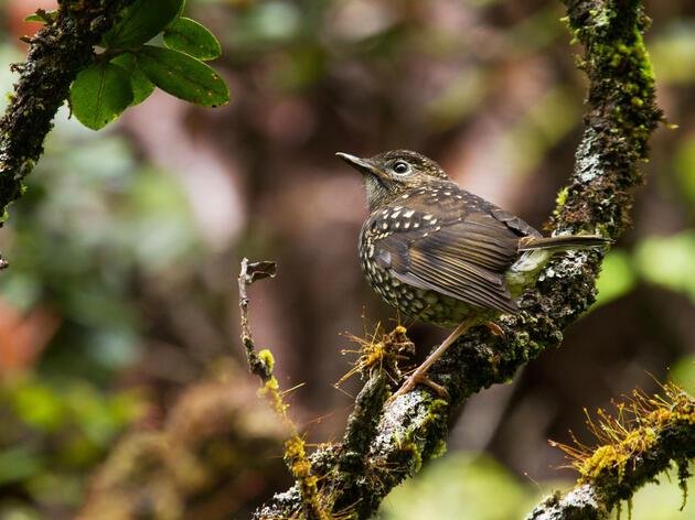 How to Protect Hawaii's Rarest Birds From Avian Malaria