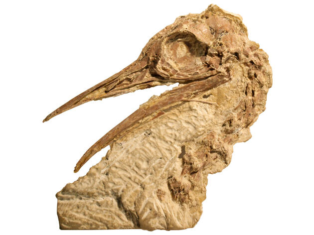 Fossilized skull of lithornithid, a relative of tinamous and ostriches, from the Green River Formation of Wyoming. Sterling Nesbitt
