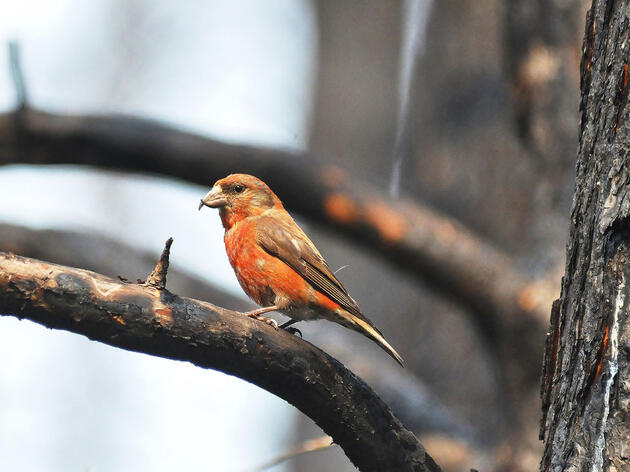 A male Red Crossbill takes advantage of the burnt pine forest, where he'll find plenty of seeds thanks to newly opened cones. Beth Siverhus