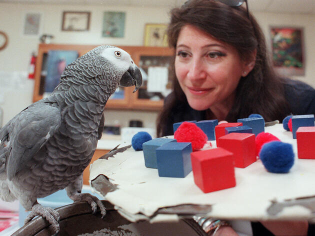 Alex the parrot counts red and blue objects at the behest of his owner, Dr. Irene Pepperberg. Jeff Topping for The New York Times/Redux