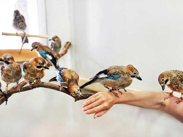 Meet the Bird Brainiacs: Eurasian Jay