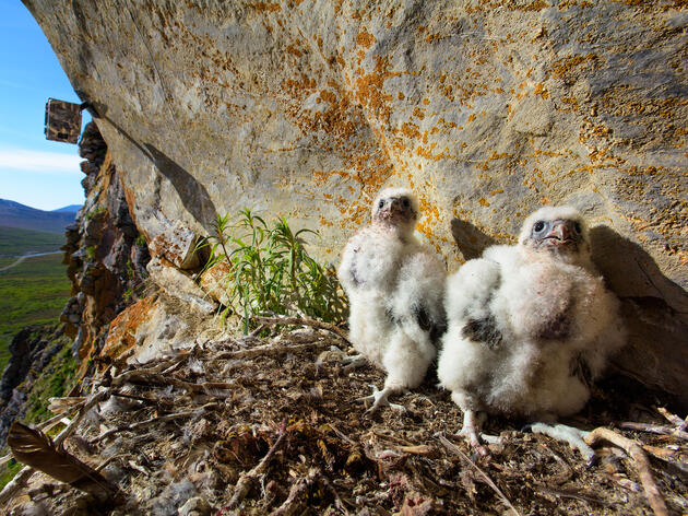 A remote motion-triggered camera recorded the hatching and growth of these two Gyrfalcon nestlings. Cameras have been set up in 13 different nests, and have captured more than 750,000 photographs for biologist Bryce Robinson to analyze. Gerrit Vyn