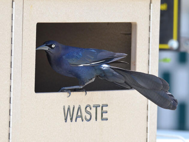 When the Santa Barbara Zoo changed to new garbage containers, Great-tailed Grackles quickly learned to dumpster dive. Corina Logan