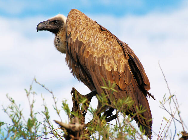 The White-backed Vulture is now considered critically endangered. Ian White/Flickr Creative Commons