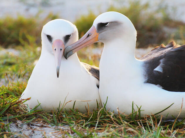 On November 19, 2015 Wisdom Returned to Midway Atoll National Wildlife Refuge and was observed with her mate on November 21. Kiah Walker/USFWS