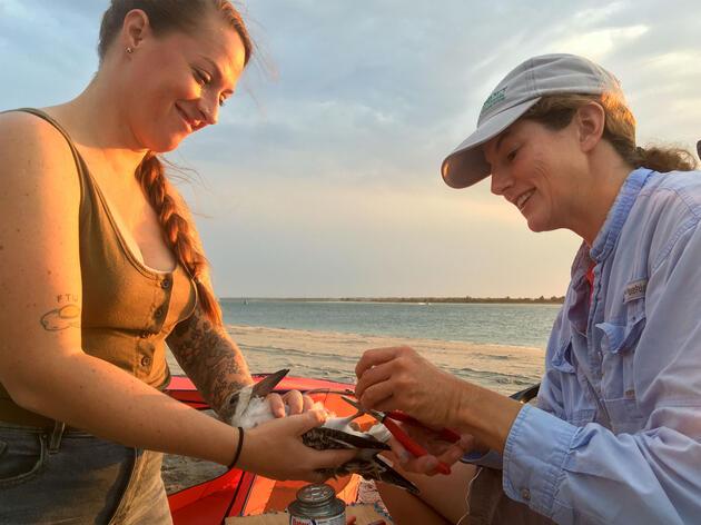 Audubon North Carolina coastal biologist Lindsay Addison (right) and volunteer Evan Buckland (left) place a band on a Black Skimmer chick in 2019. Anna Parot