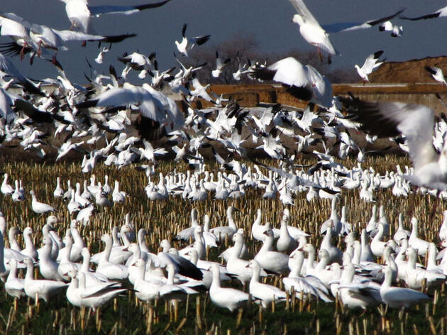 """Snow and Ross's Geese congregate at the Great Salt Lake. Snow and Ross's Geese congregate at the Great Salt Lake. Photo: <a href=""""https://www.flickr.com/photos/bryanto/12962559764/"""" target=""""_blank"""">Bryant Olsen</a>/Flickr CC (CC BY-NC 2.0)"""