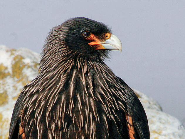 Unraveling the Mystery of the Caracara