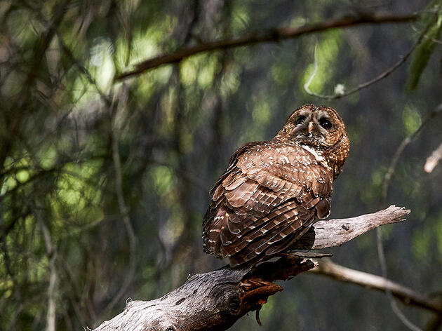Trump Administration Drastically Slashes Protections for Northern Spotted Owls