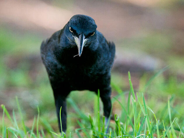In Praise of the Great-tailed Grackle, a Bird That Doesn't Need Your Respect