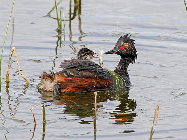 Grebes Like Their Meals with a Side of Feathers—Here's Why