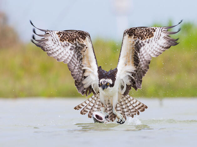 Ospreys, Like Skateboarders, Favor One Foot Over the Other