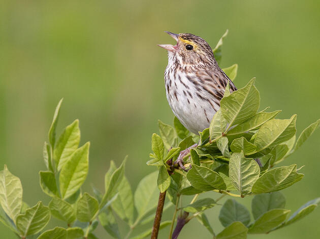 Hear the Persistent, Buzzy Song of the Savannah Sparrow