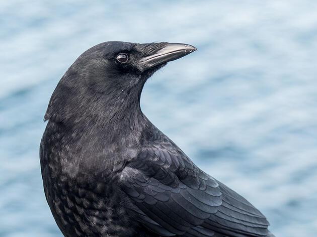 Why the Northwestern Crow Vanished Overnight
