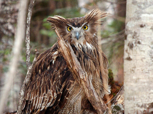 Searching for Elusive Blakiston's Fish Owls in the Ancient Forests of Primorye