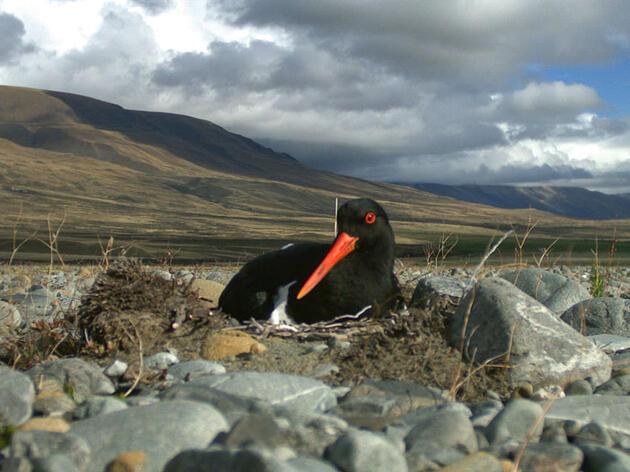 False Scents Can Trick Predators Into Ignoring Nesting Shorebirds