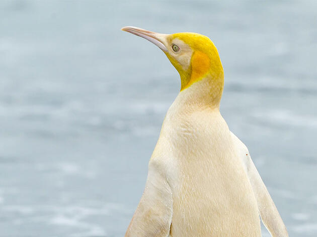 Rare Yellow Penguin Bewilders Scientists