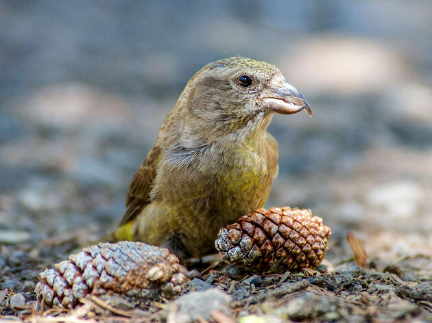 Nearly Half of the Cassia Crossbill's Population Could Be Lost After Wildfire